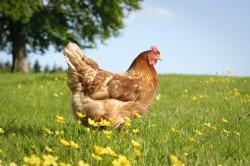 Huhn mittlerer Flügel