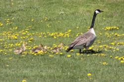 Goose back