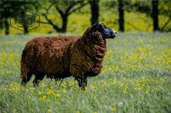 Schafsfett