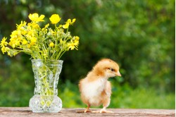 Cockerel day-old chicks ground