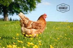 Huhn, kleine Rückenstücken