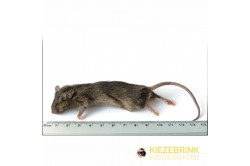 Large mice 23 g